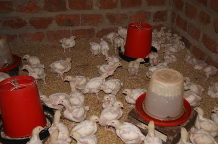 Chickens are raised and then sold at the market