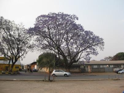 Jakaranda tree in bloom